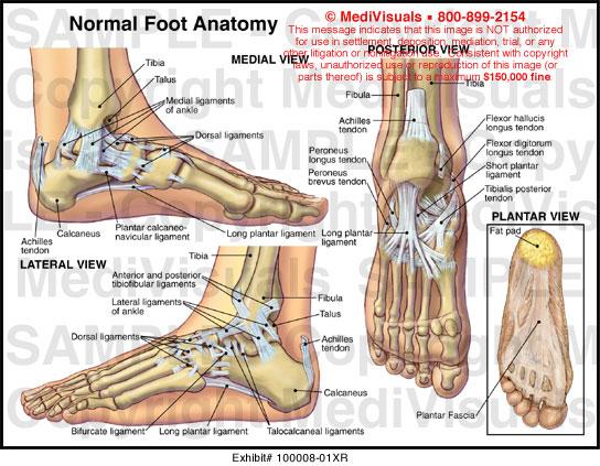 Medivisuals Normal Foot Anatomy Exhibits