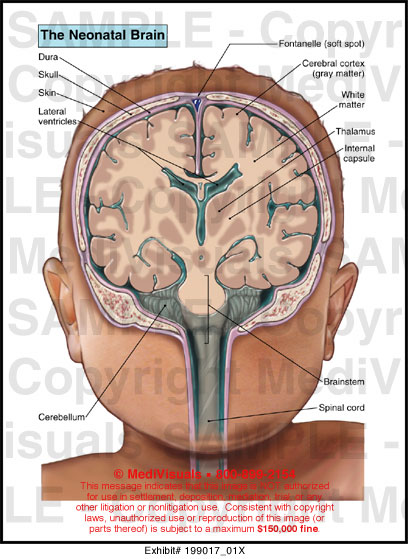 brain asymmetry and general anatomy Mapping brain asymmetry the two brain hemispheres differ in their anatomy and function this general pattern is established prenatally.