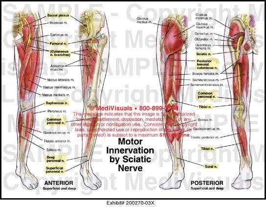Motor innervation by sciatic nerve medical illustration