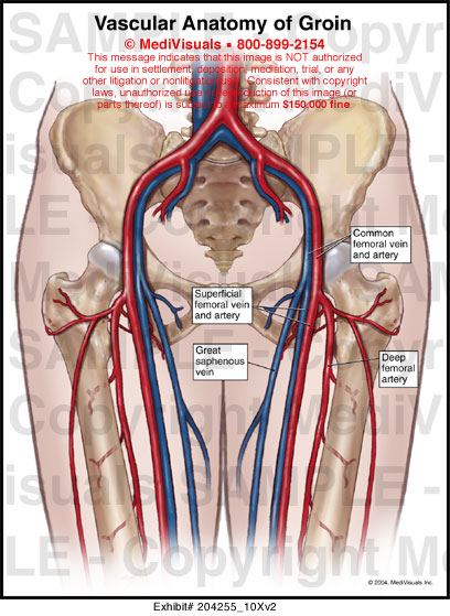 Groin muscle anatomy diagram