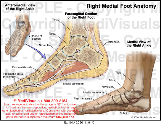 MediVisuals Foot and Toe Anatomy Medical Illustration Exhibits