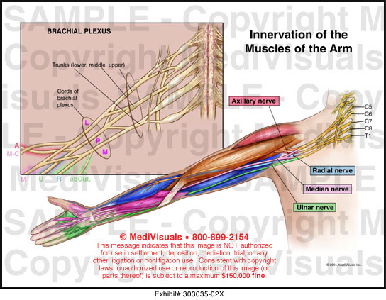 3335296 moreover Innervation Of The Muscles Of The Arm 303035 02x together with 1014278 likewise 4056638 together with 5749. on ventral cavity includes