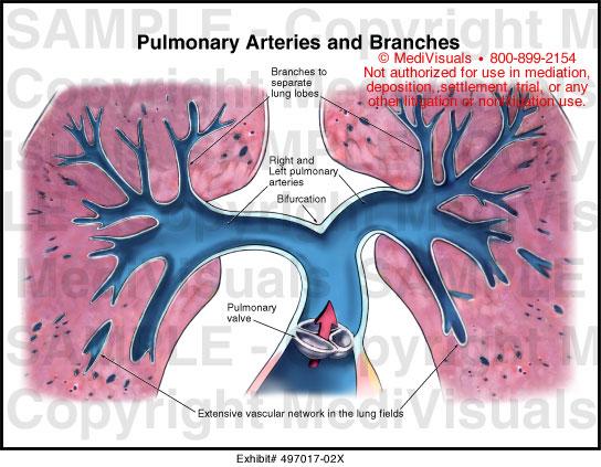 Pulmonary arteries anatomy