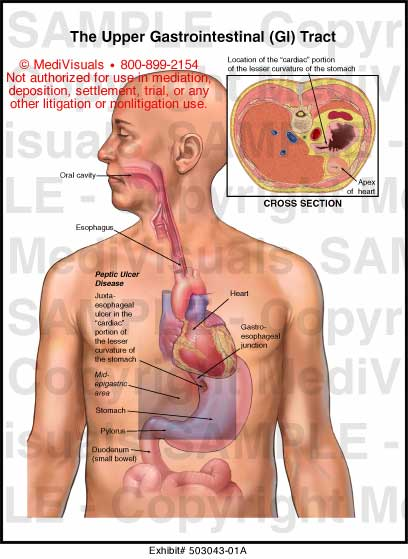 Upper gastrointestinal tract anatomy
