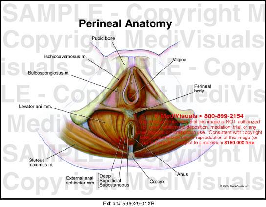 Female vaginal anatomy