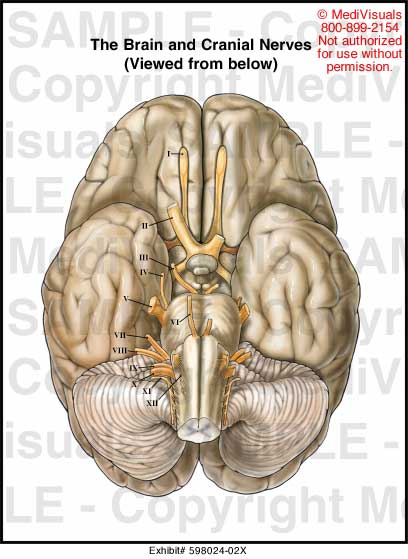 Medivisuals The Brain and Cranial Nerves Medical Illustration