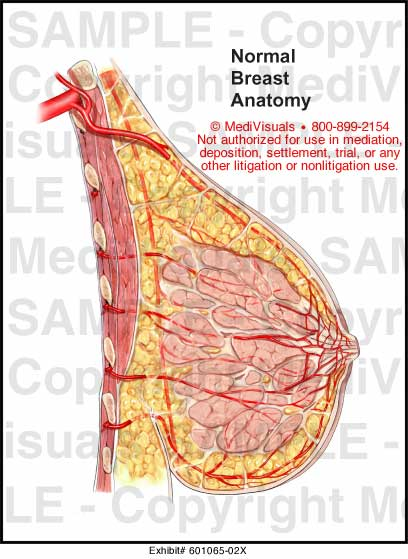 normal breast anatomy medical illustration