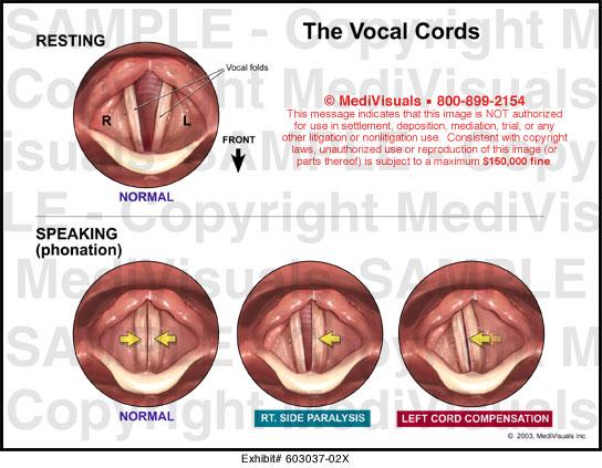 Vocal cords anatomy