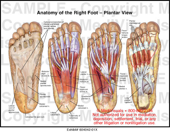 Anatomy of the Right Foot - Plantar View Medical Illustration