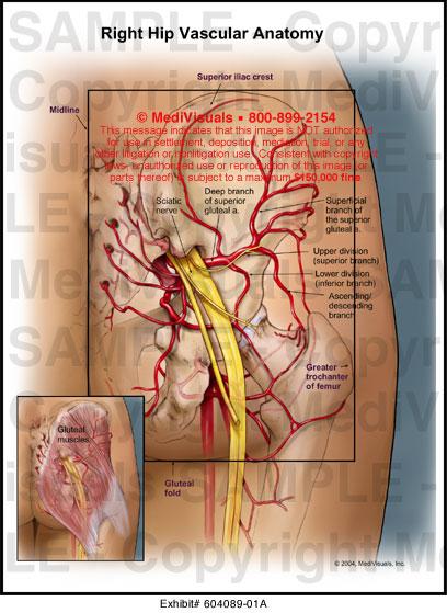 Anatomy of right hip