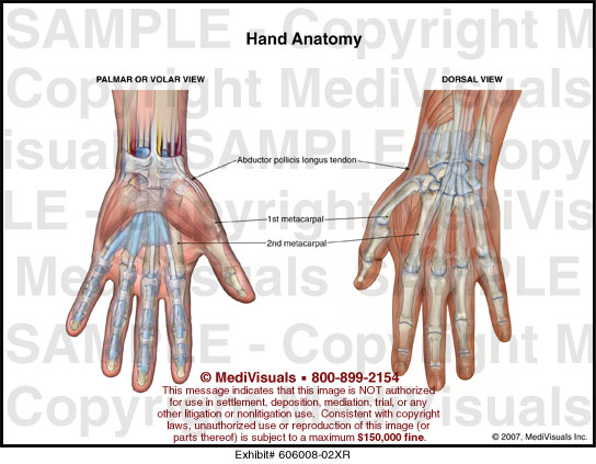 Palmar spaces of hand anatomy