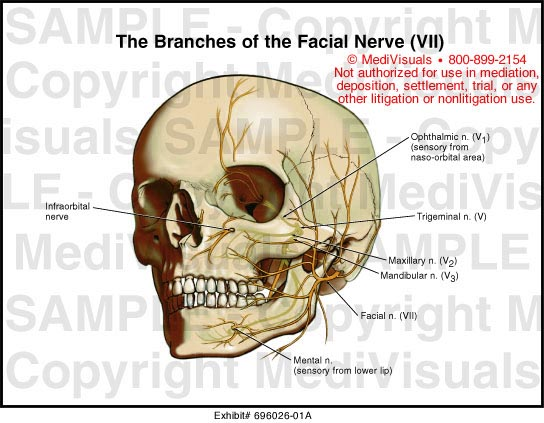 Facial nerve anatomy animation