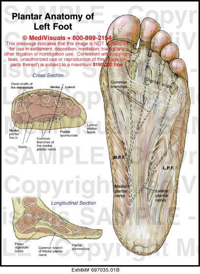 Anatomy Model Muscles Back moreover X besides Vl J Jqgrxzkeezvatzq Human Skeleton also Legcurl moreover Xr. on shoulder muscular system