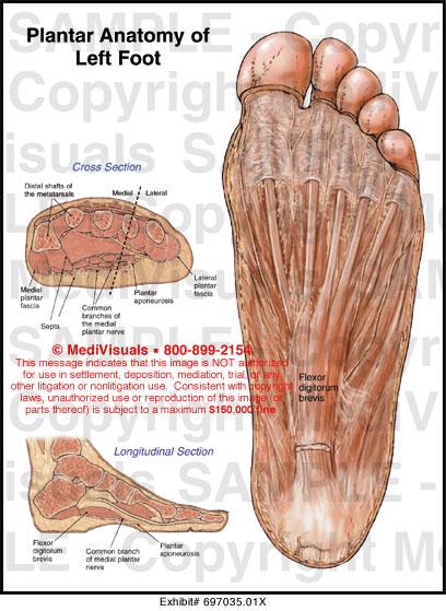 Left ankle anatomy