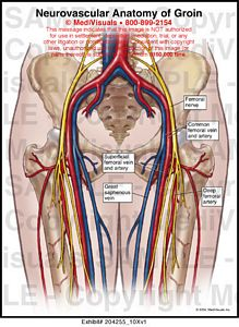 neurovascular anatomy of groin medical exhibit, Muscles