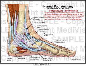 Medivisuals Normal Foot Anatomy Medical Illustration