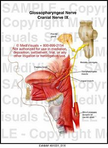 X moreover X in addition Xrg in addition Myasthenia Gravis Autoimmune Disease Antibodies Attack Nmj And Bind Ach Receptors In Clusters Receptors Removed likewise Pain Between The Shoulder Blades. on shoulder muscular system