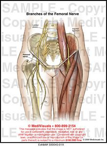branches of the femoral nerve medical illustration medivisuals, Muscles