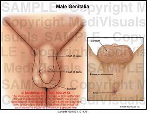 male genitalia photos