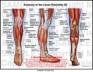 leg anatomy medical illustration exhibits, Skeleton
