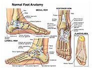 Normal Foot and Ankle Ligaments