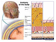 anatomy-scalp