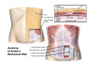 anatomy-anterior-wall
