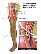 anatomy of the femoral nerve, artery and vein medical illustration, Muscles