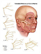 Facial Nerve Branches and Patterns Chart