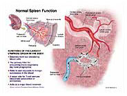 medivisuals normal spleen function medical illustration, Human Body
