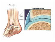 Ankle Anatomy and Articular Cartilage