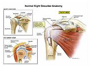 Right shoulder anatomy