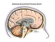 anatomy-around-pituitary-gland