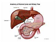normal-liver-biliary-tree-anatomy