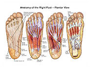 plantar-view-right-foot-anatomy