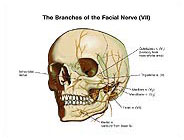 Anatomy of the Facial Nerve Branches Illustration