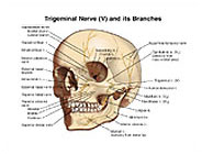 Trigeminal Nerve (V) and Branches Diagram