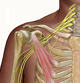 brachial-plexus-medical-exhibits