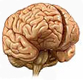 Brain Anatomy Exhibits