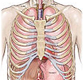 Chest/Thorax Anatomy Exhibits
