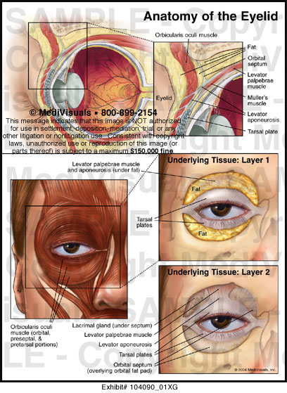 Upper eyelid anatomy