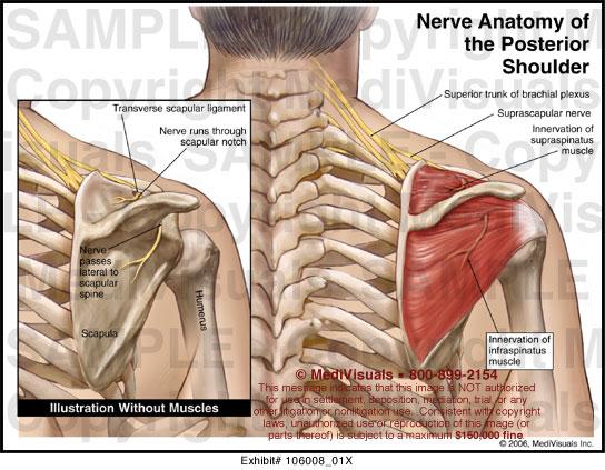 Nerve Anatomy of the Posterior Shoulder Medical Exhibit