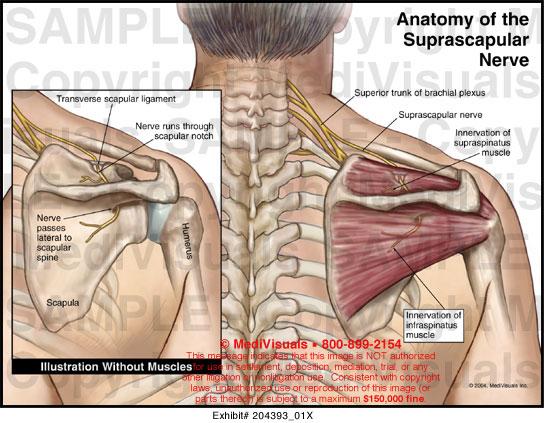 Shoulder nerves anatomy