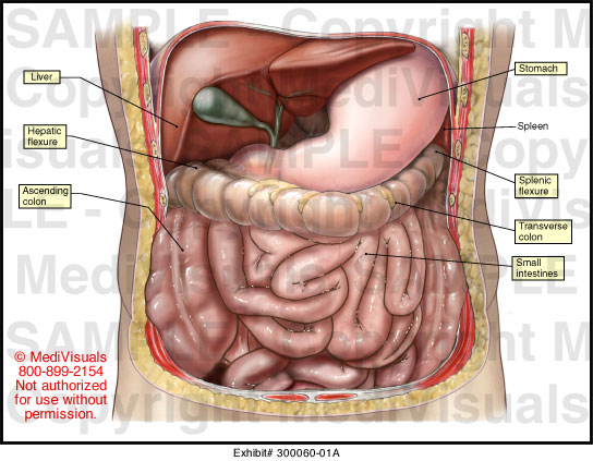 Abdominal Anatomy Medical Illustration Medivisuals