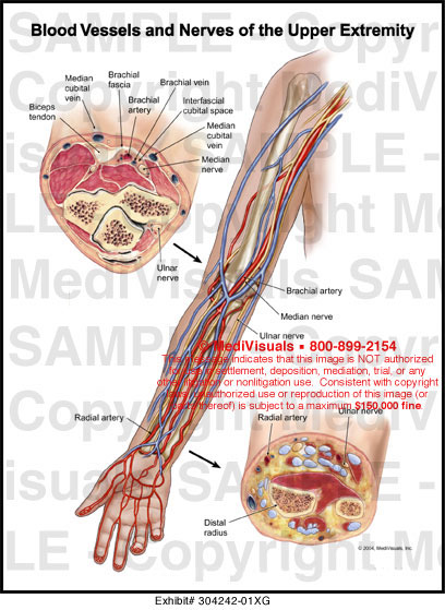 Arm blood vessels anatomy