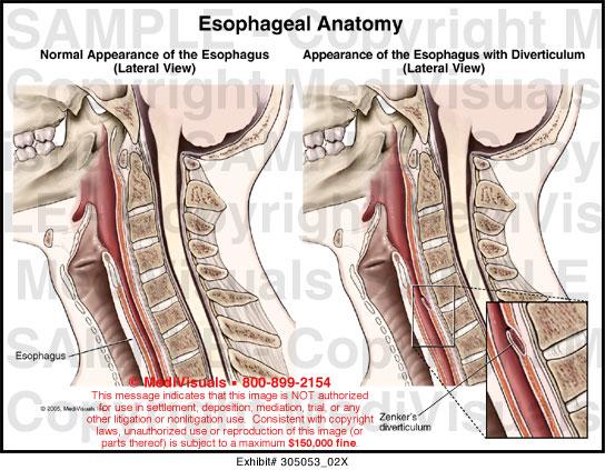 Esophageal Anatomy Medical Illustration Medivisuals