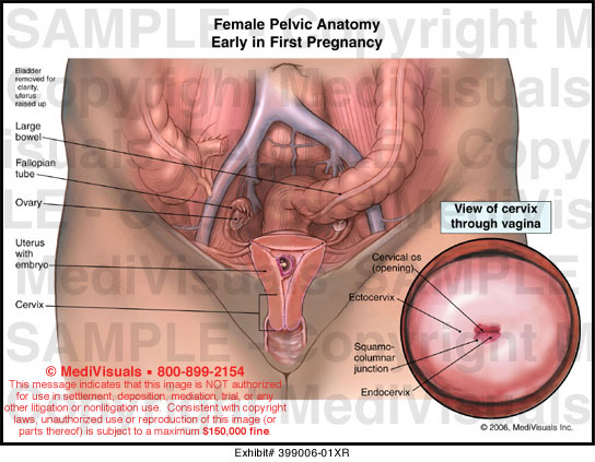 Female Pelvic Anatomy Early in First Pregnancy Medical Exhibit
