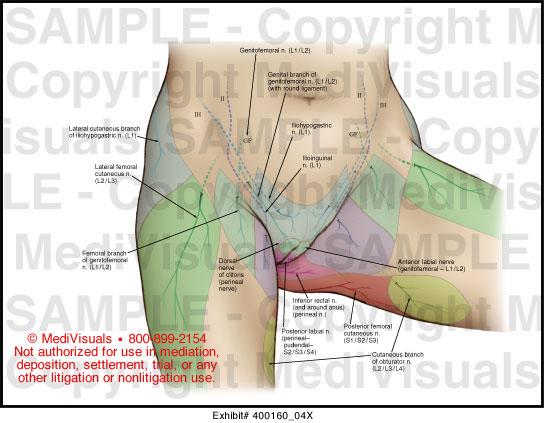 Female Pelvic Cutaneous Nerves Medical Illustration