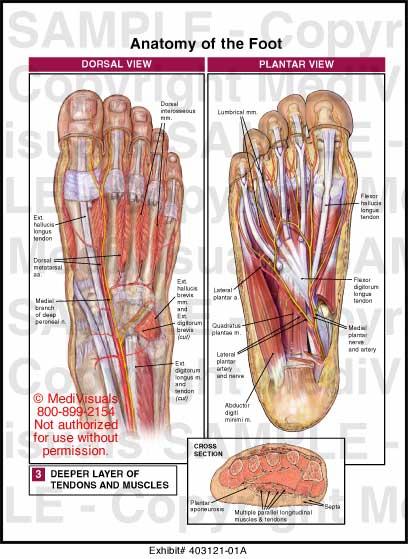 Anatomy Of The Foot Medical Illustration Medivisuals
