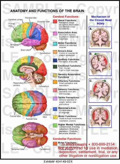 Brain anatomy and functions